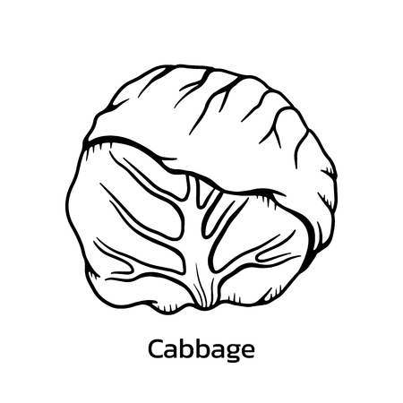 Green cabbage vector illustration. cabbage line drawing