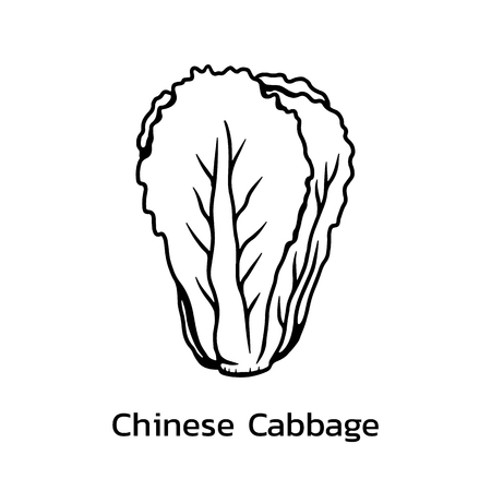 Chinese cabbage vector illustration. chinese cabbage line drawing 向量圖像