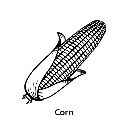 Corn vector illustration. corn line drawing
