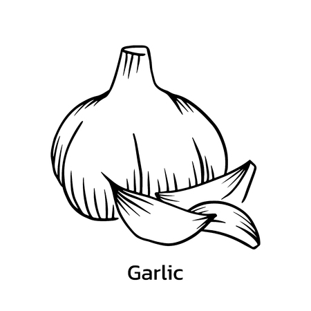 Garlic vector illustration. garlic line drawing