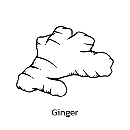 Ginger vector illustration. ginger line drawing