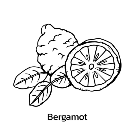 Bergamot vector illustration. bergamot line drawing