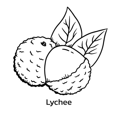 Lychee vector illustration. Litchi line drawing Banque d'images - 125665831