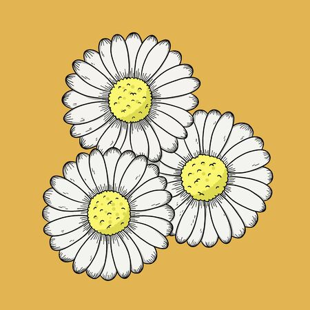 chrysanthemum white flower. Vector illustration