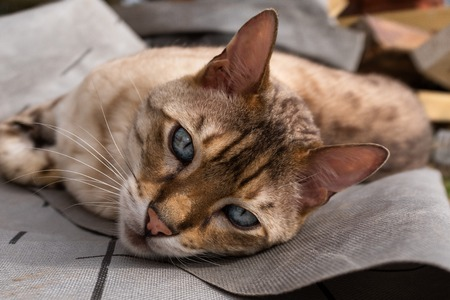 A close up of a bengal cat lying on the ground looking at the camera with beautiful blue eyes