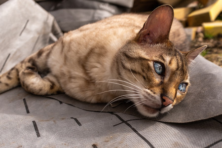 A close up of a bengal cat lying on the ground looking away from the camera with beautiful blue eyes Imagens