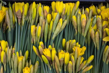 Close of bunches of cut daffodils for sale, bright yellow fresh flowers