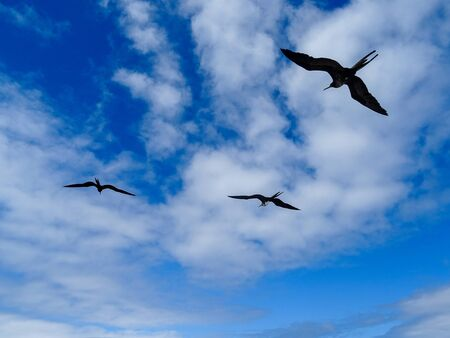 Three silhouettes of Frigate Birds flying against a blue sky with fluffy white clouds