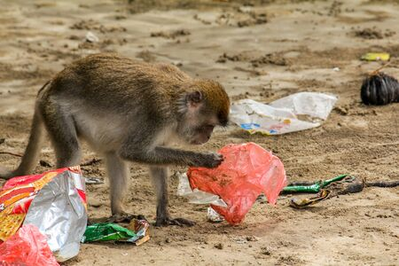 A small macaque gibbon at Bako, National Park, Borneo picks through the rubbish and plastic bags on the beach. Banco de Imagens