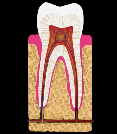dentin: Dental medicine: Tooth cut or section isolated over black background