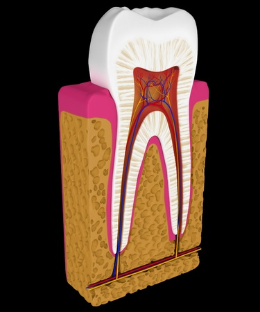 Anatomy: Tooth cut or section isolated over black background