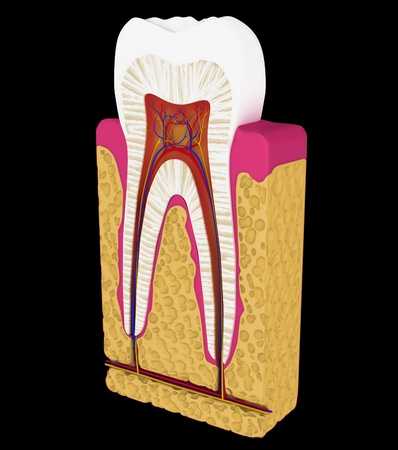 cementum: Dentistry: Tooth cut or section isolated over black background