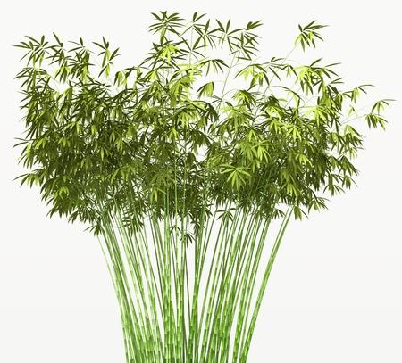 japones bambu: Bush de bamb� o mara�a aisladas sobre fondo blanco