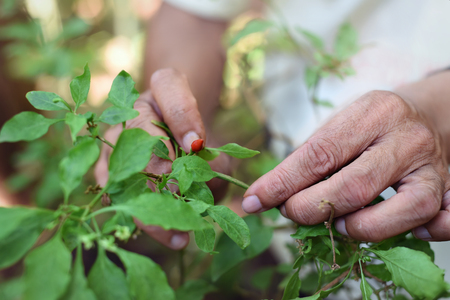 include: Man hand harvested Pequin or Birds eye pepper. The smallest chili pepper and one of the most acute, very hot. Spice at nature. Common uses include pickling, salsas and sauces, soups, and vinegars