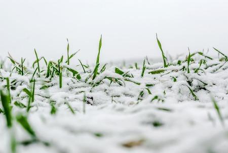Winter wheat under the snow Фото со стока