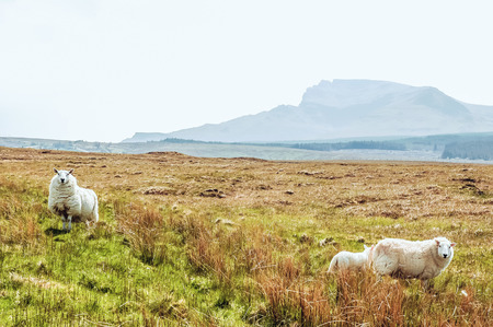 White Scottish sheep on a pasture in a mountain valley