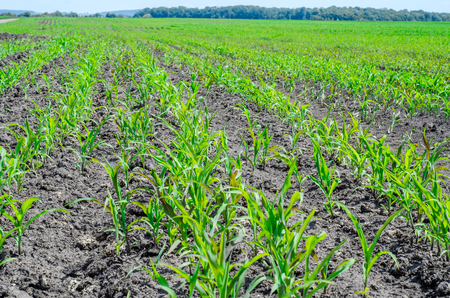 Sprouts of young corn on the field
