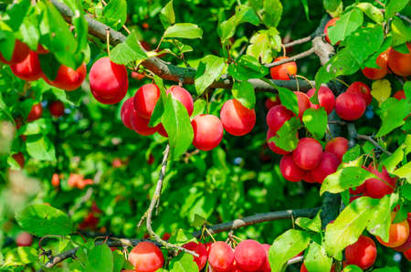 Red berry cherry plum on branches among green leaves. Harvest, healthy nutrition.