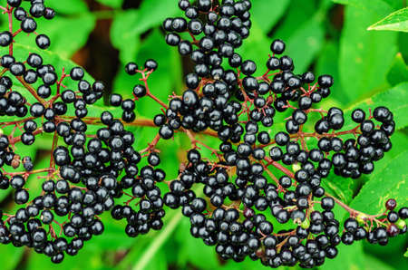 Bunches of black elderberry among green leaves. Harvest of medicinal plants.