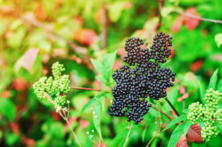 Ripe berries of black elderberry bunch on bushes in the forest among green leaves. Collection of medicinal plants, harvest autumn.