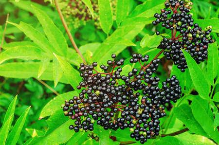 Bunches of black elderberry among green leaves. Harvest of medicinal plants. Zdjęcie Seryjne