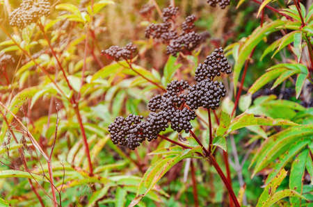 Bunches of ripe black elderberry in the forest. Medicinal plants, harvesting, wildlife