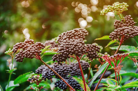 Bunches of ripe black elderberry in the forest. Medicinal plants, harvesting, wildlife Zdjęcie Seryjne - 150624291