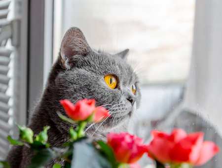 gray Scottish cat peeks out from behind a flower in a pot of house