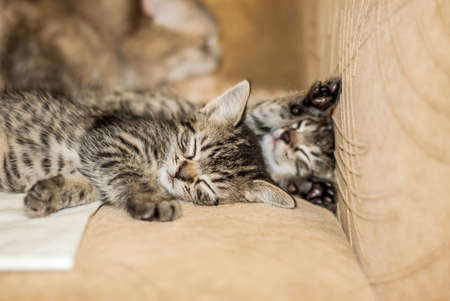 Little gray kittens sleeping on the chair in the house.