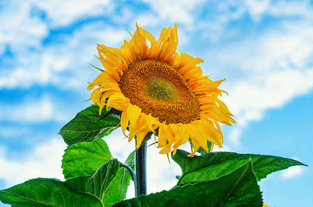 Big flower of sunflower on the field against the blue sky, clouds.