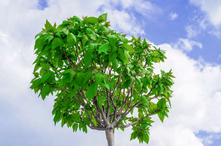 Catalp tree on sky background