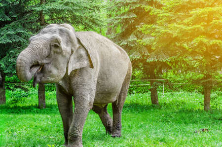 Indian elephant in the park on a background of green trees