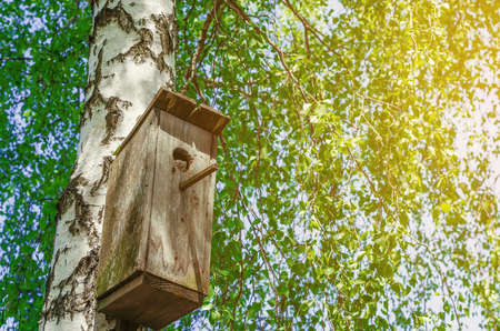 Old birdhouse on a birch among green leaves. Squirrel looks out.