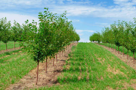 Young cherry orchard. Low green trees are planted in rows.