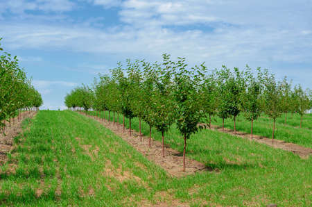 Young cherry trees are planted in rows in the garden