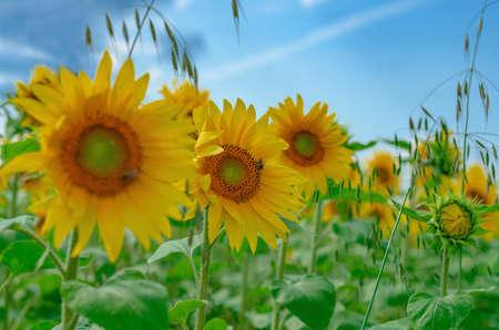 Yellow sunflowers bloom in field