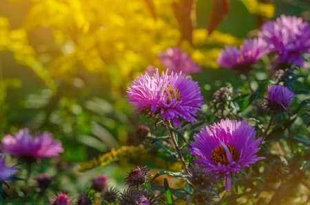 Purple aster flowers in the rays of the evening sun.