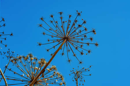 Dry inflorescences of Heracleum flowers on blue background. 版權商用圖片