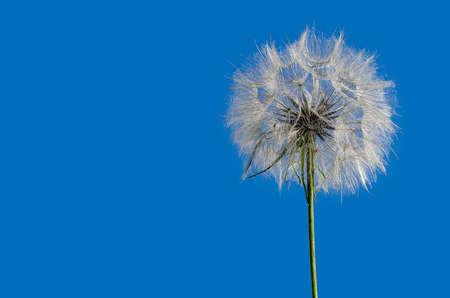 Big dandelion on background of blue sky. 版權商用圖片