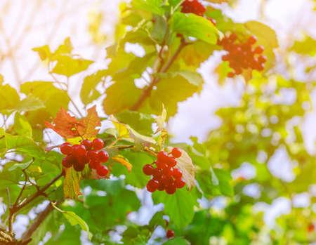 Red berries of viburnum in tassels on green bush. Medicinal plant