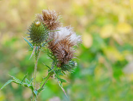 Thistle inflorescences with ripe seeds.