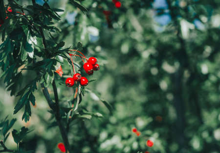 Red ripe berries of hawthorn branches with dark green leaves. Autumn harvest of medicinal plants. Small aperture, blurred background 스톡 콘텐츠 - 155367959