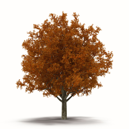 oak tree isolated: Autumn Oak Tree Isolated on White Background 3D Illustration Stock Photo