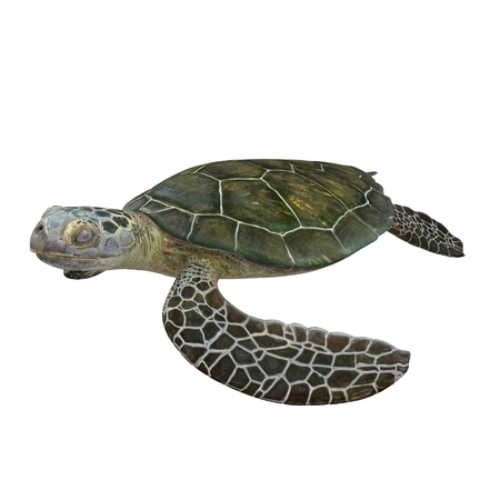 chelonia: Green sea turtle isolated on a white background 3D Illustration