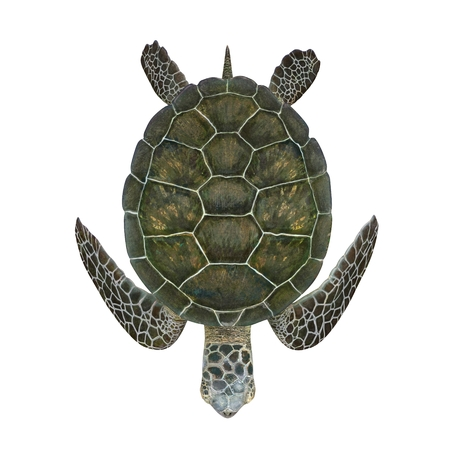 Green sea turtle isolated on a white background 3D Illustration Zdjęcie Seryjne - 62178767