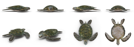 green sea turtle: Green sea turtle angles isolated on a white background 3D Illustration