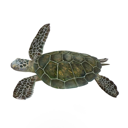 green sea turtle: Green sea turtle isolated on a white background 3D Illustration
