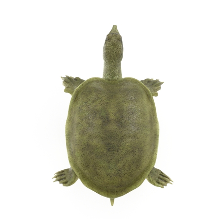 Top view Chinese softshell turtle Pelodiscus sinensis on white. 3D illustration Stock Photo