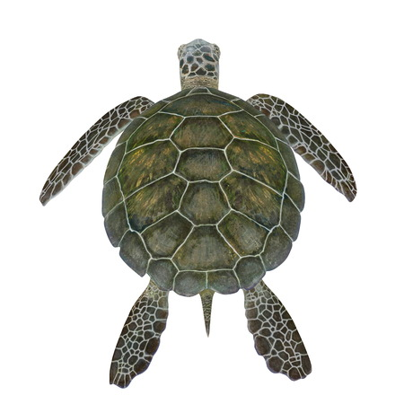 Hawksbill Sea Turtle isolated on white. 3D illustration