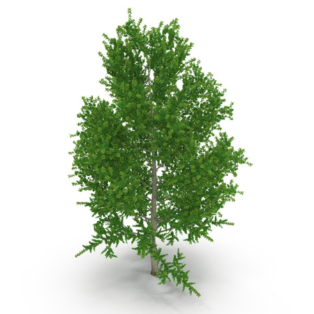 poplar: Green Poplar tree isolated on white. 3D illustration Stock Photo